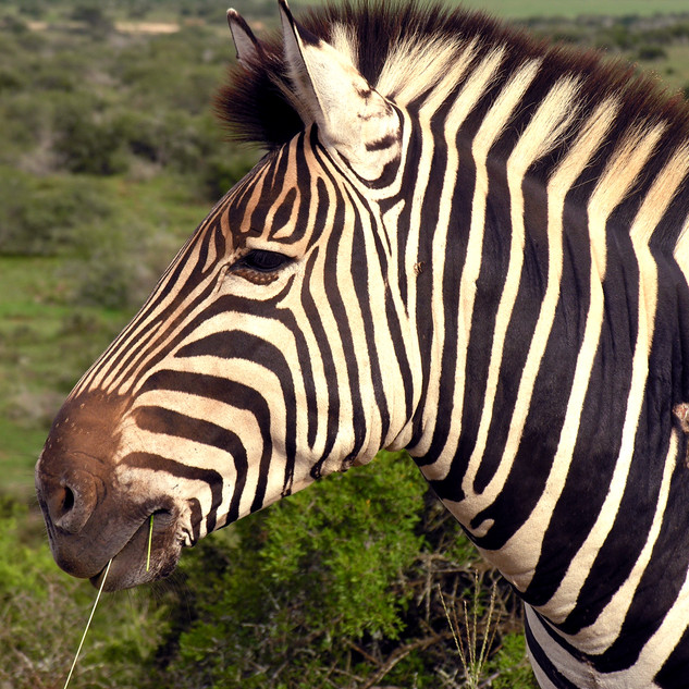 Wildlife_Zebra[1].jpg
