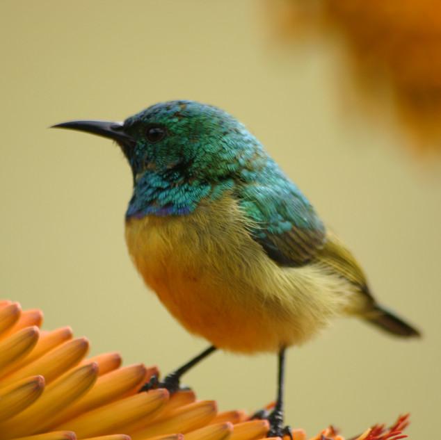 Wildlife_Sunbird[1].JPG