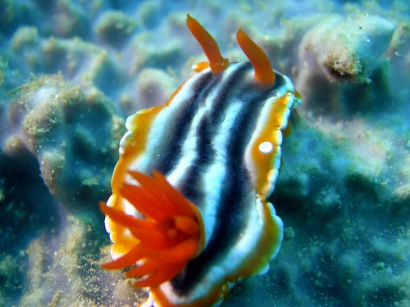 marine-guide-coral-divers-sodwana-bay-nudi-Chromodoris_Africana