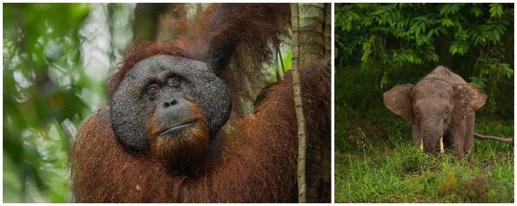 Wildlife adventure vacation in the rainforest- elephant and orangutan in Borneo, Asia