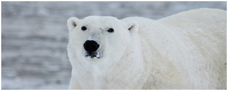 Custom wildlife adventure vacation- polar bear in Norway and Svalbard