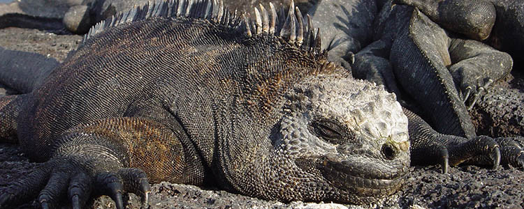 Galapagos Islands beautiful adventure travel - Fernandina wildlife and iguanas