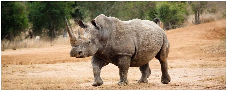 Bucketlist, one of a kind wildlife vacation - exotic rhino in Nepal