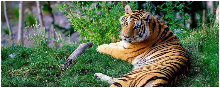 Planning a wildlife trip to India - visit animal species - Bengal tiger