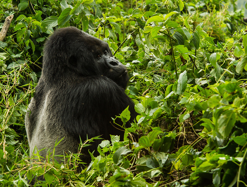 Exclusive travel adventure to Bisate Lodge, Volcanoes National Park, Rwanda - gorillas