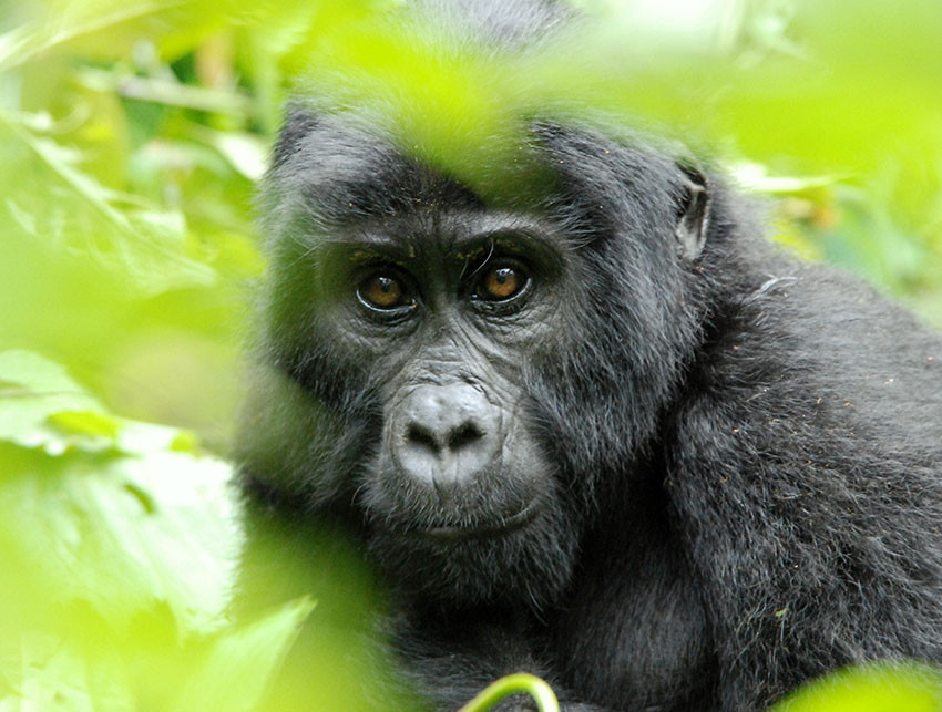 Face-to-face with Silverback Gorillas in Rwanda and Uganda on vacation