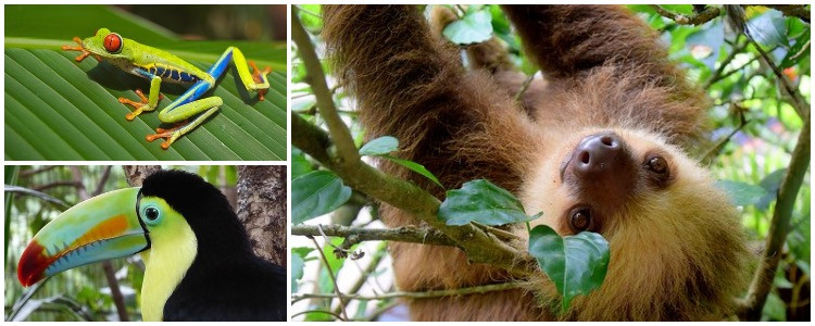 Custom vacation wildlife adventure - Costa Rica rainforest with frogs, toucan, sloth