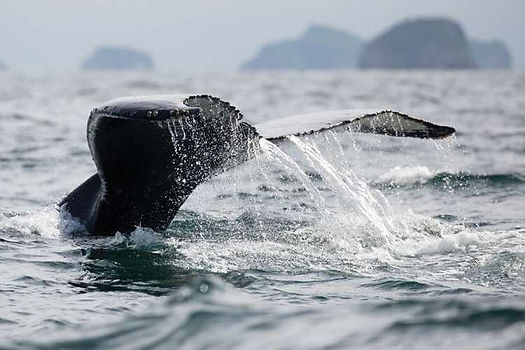 whale_alaska_silversea_virtuoso.jpg
