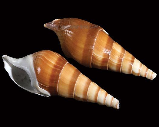 Euthani Shell