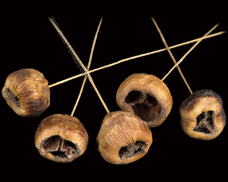 Talami on Bamboo Stem