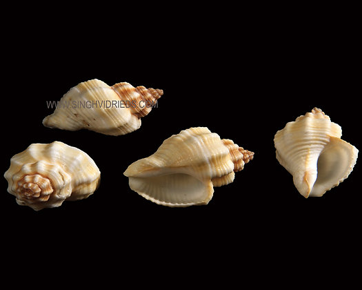Cantharus Shell