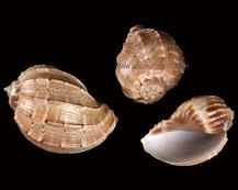 Harappa Shell