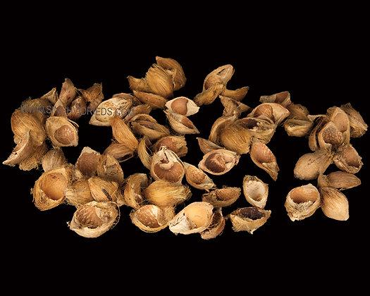 Betel Nut Half Natural