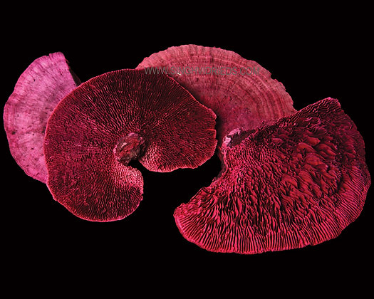 Sponge Mushroom Dark Pink