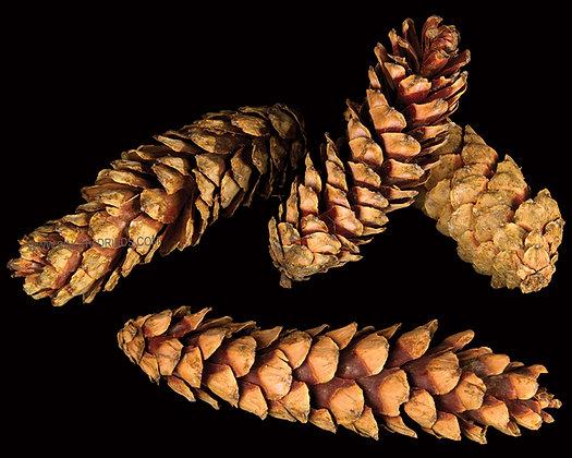 Strobus Natural