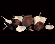 Golden Mushroom Natural