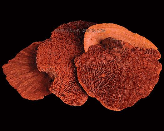 Sponge Mushroom Orange