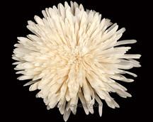 Sola China Flower