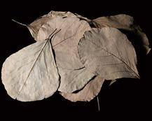 Cobra Leaf Natural