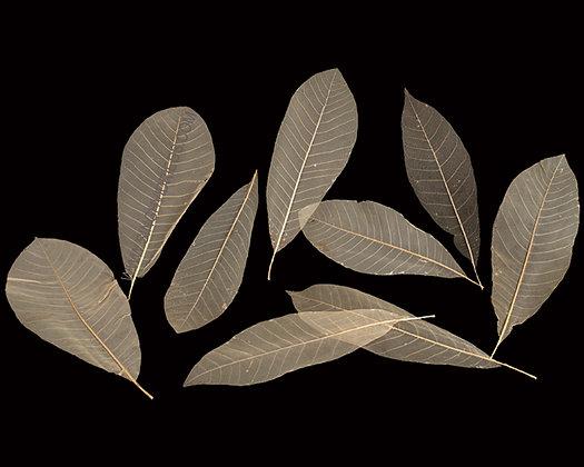 Magnolia Leaf Skeleton Natural