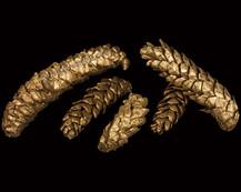Strobus Gold