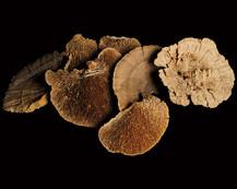 Sponge Mushroom Natural