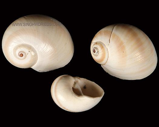 Matugan Shell