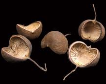 Budha Nut Natural