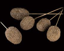 Jack Fruit on Bamboo Stem