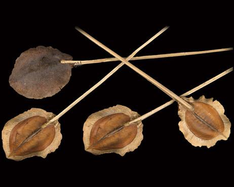 Jackaranda Splitted on Bamboo Stem