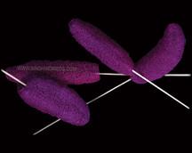 Luffa Purple on Bamboo Stem
