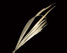 Sun Palm Leaf Bleach