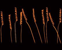 Cane Spring Orange