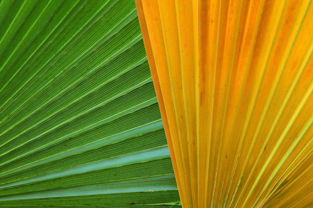 close up abstract print of fresh green and dry yellow frond leaves of palm trees