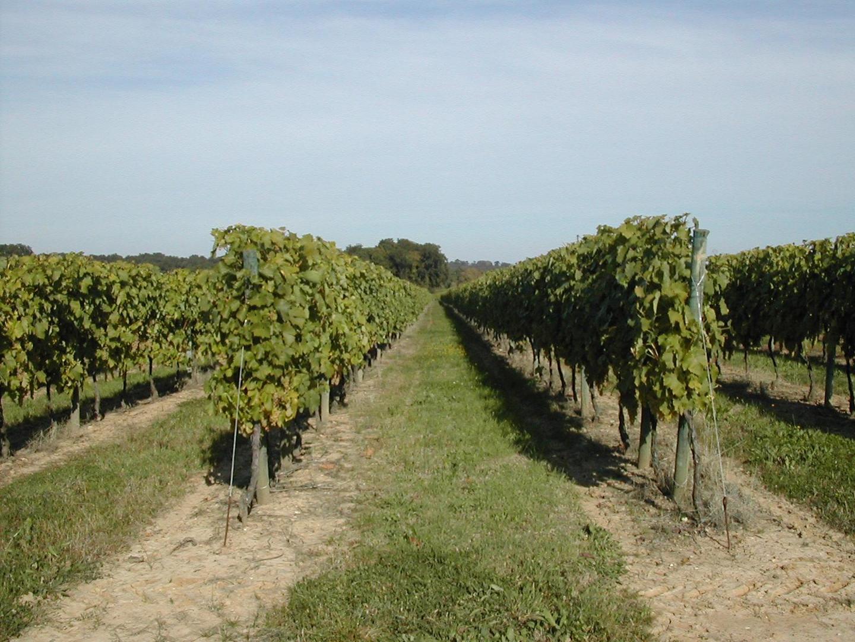 raisin vigne ugni blanc Cognac GIRAUD Distillerie de l'Etang Boutiers