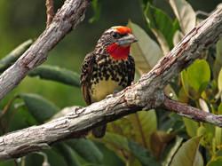 Black-spotted Barbet