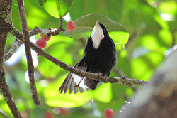 White-throated Manakin