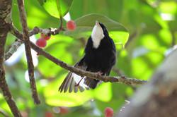 White-throated Manakin