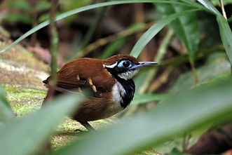 Ferruginous-backed Antbird in Manaus