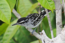 Spot-backed Antwren