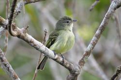 Yellow-margined Flycatcher