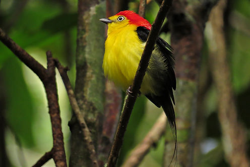 Wire-tailed Manakin in Novo Airão