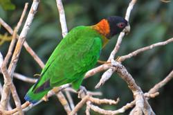 Caica Parrot