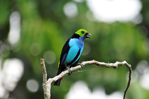 Paradise Tanager in Manaus