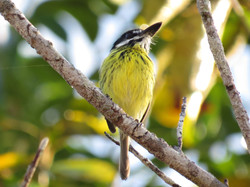 Painted Tody-Flycatcher