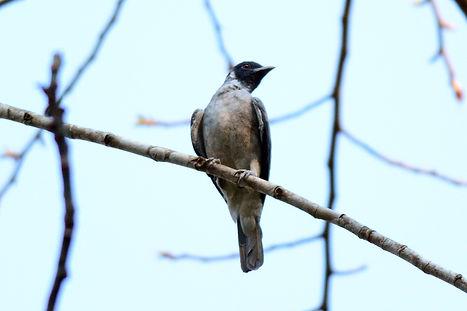 Birding in Acre
