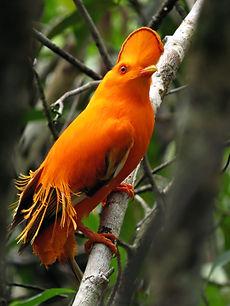 Birdwatching in Presidente Figueiredo