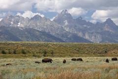 Buffalo in Grand Teton National Park, Wyoming