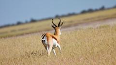 Springbok #3