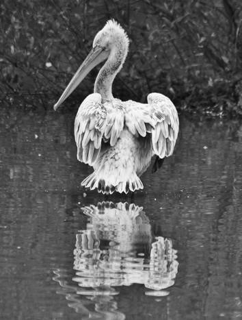 Pelican, Lorraine